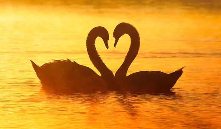 SwansLove.jpg